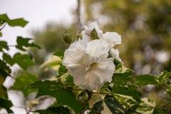 Розовые mutabilis гибискуса отступления цветка стоковая фотография rf
