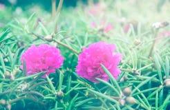 Розовые rosemoss Стоковая Фотография RF