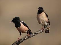 Розовые starlings Стоковое Изображение RF