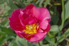Розовые tulps одно в саде Стоковая Фотография RF