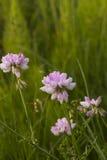 розовые wildflowers Цветки клевера розовые Розовые цветки в луге Hybridum Trifolium бледное - розовые цветки Стоковая Фотография