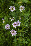 розовые wildflowers Цветки клевера розовые Розовые цветки в луге Hybridum Trifolium бледное - розовые цветки Стоковое Изображение RF
