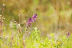 розовые wildflowers Стоковые Изображения RF