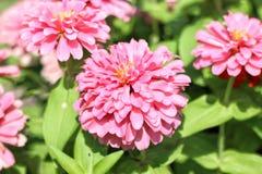 Розовые zinnias в саде стоковые изображения