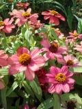 Розовые Zinnias снова стоковое фото