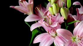 Розовый азиатский цветок Timelapse лилии акции видеоматериалы