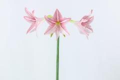 Розовый амарулис Стоковые Фото