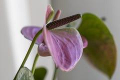 Розовый антуриум в вазе Стоковые Фотографии RF