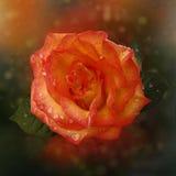 Розовый апельсин Стоковое Изображение