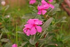 Розовый барвинок, красочный цветок завода украшения и медицинская трава Стоковое Изображение