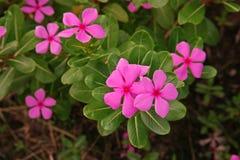 Розовый барвинок, красочный цветок завода украшения и медицинская трава Стоковое фото RF