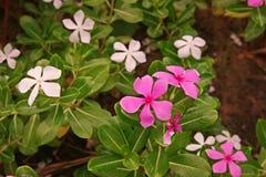 Розовый барвинок, красочный цветок завода украшения и медицинская трава Стоковые Изображения RF