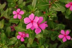 Розовый барвинок, красочный цветок завода украшения и медицинская трава Стоковая Фотография