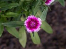 Розовый белый зацветать цветка гвоздики Стоковые Изображения