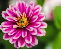 Розовый белый и желтый цветок Стоковая Фотография