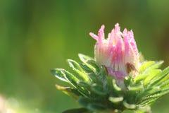 Розовый бутон маргаритки стоковые изображения rf