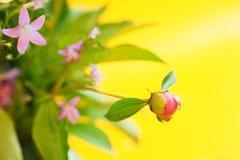 Розовый бутон пиона на желтой предпосылке Стоковое Фото