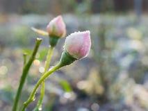 Розовый бутон с заморозком гололеди Стоковые Фотографии RF
