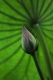 Розовый бутон цветка лотоса Стоковые Изображения