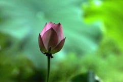 Розовый бутон цветка лотоса Стоковое фото RF
