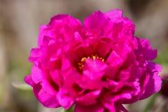 Розовый бутон цветка свежий и красивый в природе везде Стоковые Фото