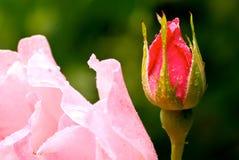 Розовый бутон цветка Стоковая Фотография RF