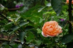 Розовый бутон цветка Стоковые Изображения