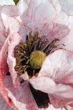 Розовый бледный бутон мака Стоковые Изображения RF