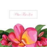 Розовый вектор предпосылки Frangipani Стоковые Фотографии RF
