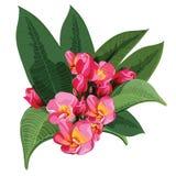 Розовый вектор Frangipani Стоковое Изображение