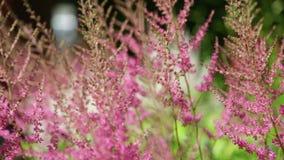 Розовый взмах цветков в ветре акции видеоматериалы