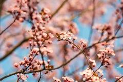Розовый вишневый цвет в солнечном свете Стоковая Фотография