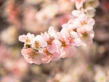 Розовый вишневый цвет в Японии Стоковое Изображение RF
