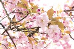Розовый вишневый цвет несколько размер цветков Сакуры Стоковая Фотография RF