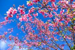 Розовый вишневый цвет против голубого неба Стоковое Фото