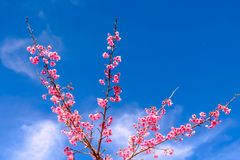 Розовый вишневый цвет против голубого неба Стоковые Фото