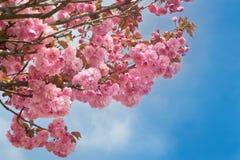 Розовый вишневый цвет против голубого неба Стоковое Изображение RF