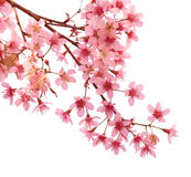 Розовый вишневый цвет Сакура стоковое фото rf