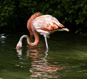 Розовый выпивать фламинго Стоковые Изображения RF