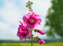 Розовый вьюнок Стоковое Фото