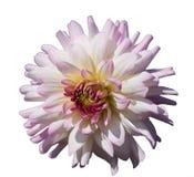 Розовый георгин изолированный на белой предпосылке Стоковые Фотографии RF