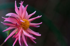 Розовый георгин на предпосылке темного ого-зелен сада Стоковые Изображения