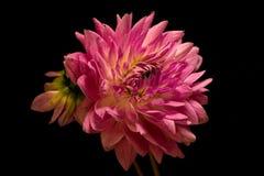 Розовый георгин на черноте Стоковая Фотография RF