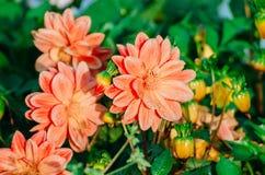 Розовый георгин цветет с росой утра и зеленой предпосылкой Стоковые Изображения RF