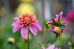 Розовый георгин Стоковое Фото