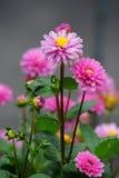 Розовый георгин Стоковые Фото
