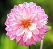 Розовый георгин Стоковая Фотография
