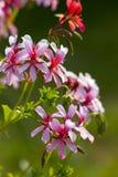 Розовый гераниум в саде Стоковые Фотографии RF
