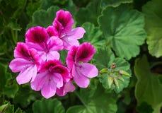 Розовый гераниум пеларгонии Стоковая Фотография RF