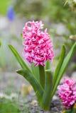Розовый гиацинт зацветая весной в саде, красивом цветке Стоковое Изображение